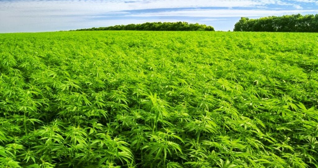 With 500,000 acres registered in 2019, the U.S. has become a world leader in hemp production